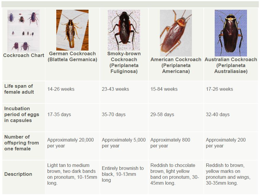 Cockroach Identification Guide